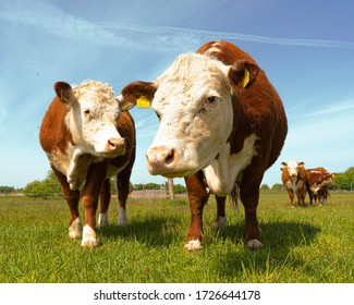 Brown Beef cattle Hereford cow in countryside