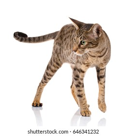brown bicolor cat on a white background Ocicat cat
