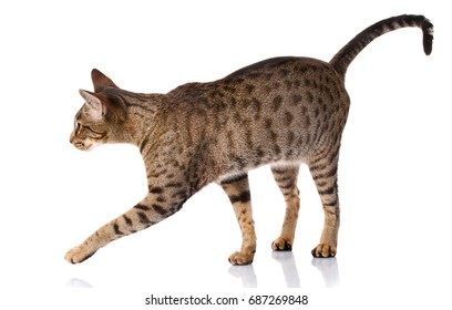 brown bicolor cat on a white background Ocicat cat,side view