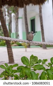 A brown bird settled on a rope on the beach in Akumal Mexico -