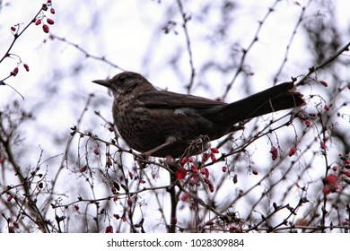 Brown bird sitting on the top of the sweet brier shrub