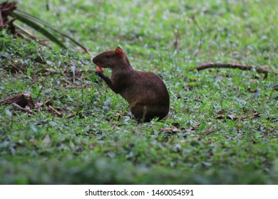 A brown and black agouti eating a small pink fruit at a grassland