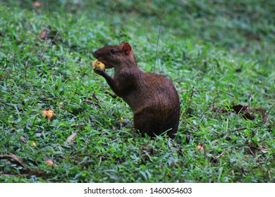 A brown and black agouti eating a small yellow fruit at a grassland