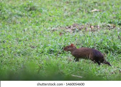 A brown and black agouti stalking through the grass