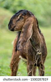 A brown and black baby goat with very long ears and a leash with bells on stands against a green blurred background.