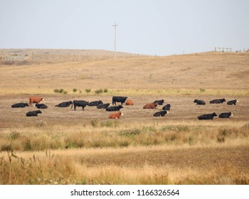 Brown and black cows lounge in dry grassy pasture on rural American farm
