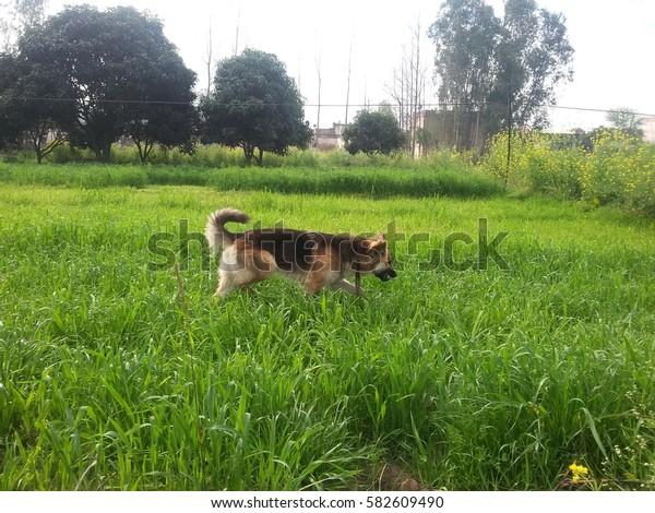 brown and black german shepherd dog walking in grass