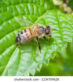 Brown, black, and golden honey bee is standing on a bright green leaf.