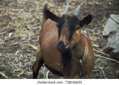 Brown and black horned goat in the straw
