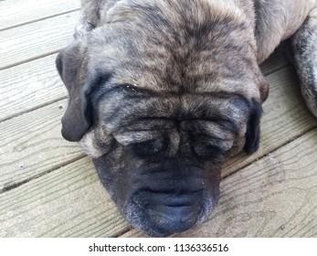 brown and black mastiff dog on wood deck