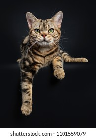 Brown and black tabby American Shorthair cat kitten laying down with paws hanging over edge isolated on black background looking at camera