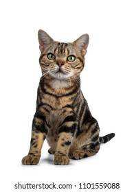 Brown and black tabby American Shorthair cat kitten sitting facing front isolated on white background looking beside camera