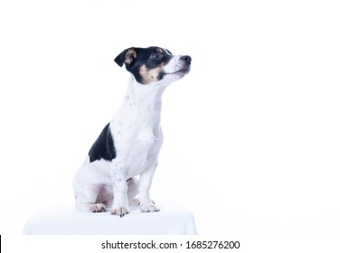 Brown, black and white Jack Russell Terrier posing in a studio, looking to the right, isolated on a white background, a lot of copy space