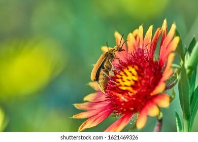 Brown Blister Beetle, Meloidae, Epicauta ochrea on Gaillardia pulchella Fire wheel flower Texas, USA