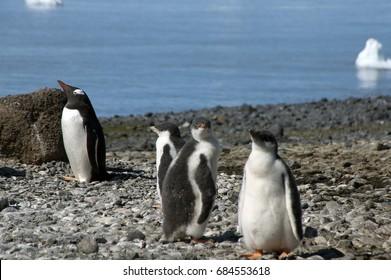 Brown Bluff Antarctica, gentoo fledglings on pebble beach