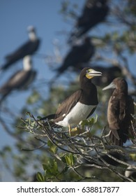 A brown booby resting on a mangrove tree