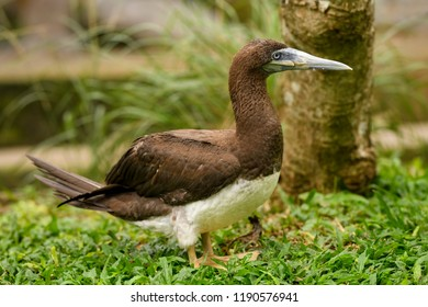 Brown Booby - Sula leucogaster, large gannet from Southeast Asian sea and ocean coasts.