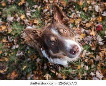 Brown Border Collie camouflaged by leaves
