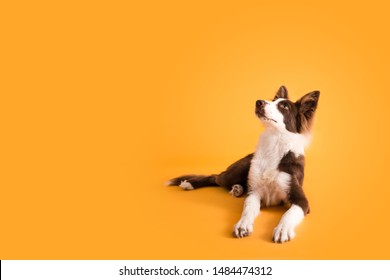 Brown Border Collie Dog on Yellow Isolated Colored Background