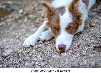 Brown border collie dog sitting on the ground