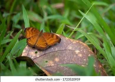 Brown Borneo butterfly on a leaf surrounded by green grass in the jungle, alive individual. Scientific name: Junonia hedonia. Seen at Sarawak, Borneo, Malaysia, South east Asia