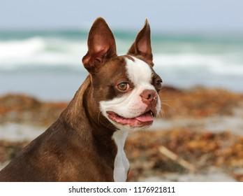 Brown Boston Terrier dog outdoor portrait at ocean beach