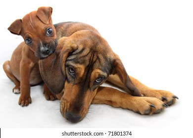 Brown Boxer puppy bites dogs ear