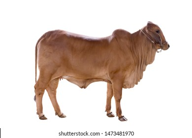 Brown Brahman ox isolated on white background with clipping path