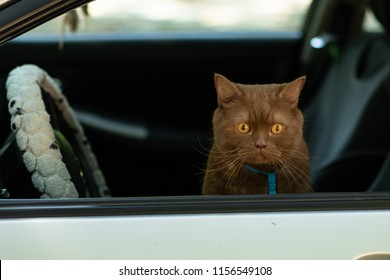 Brown british cat sitting on the driver's seat behind the wheel and looks out the car window