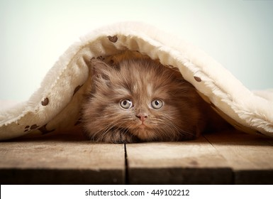 brown british longhair kitten on wooden floor under plaid
