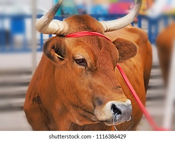 A brown bull with horns in c. To the horns is tied a red rope and in the nose he has a ring to which a chain is attached. The bull is on the street during a market festival in Teneriffa.