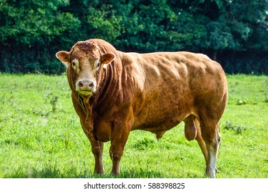 brown bull in the meadow.
