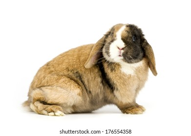 A brown bunny with black and white markings.