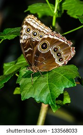 Brown Butterfly