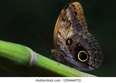 Brown butterfly landed on bamboo branch showing mimicry eyespots (focused)