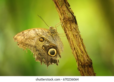 Brown butterfly on branch with closeup wings showing power of mimicry on nice green blurred background.