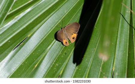 Brown butterfly on a green  windmill palm leaf