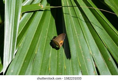 Brown butterfly on a green  windmill palm leaf 2