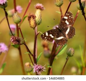 Brown butterfly on the purple flower