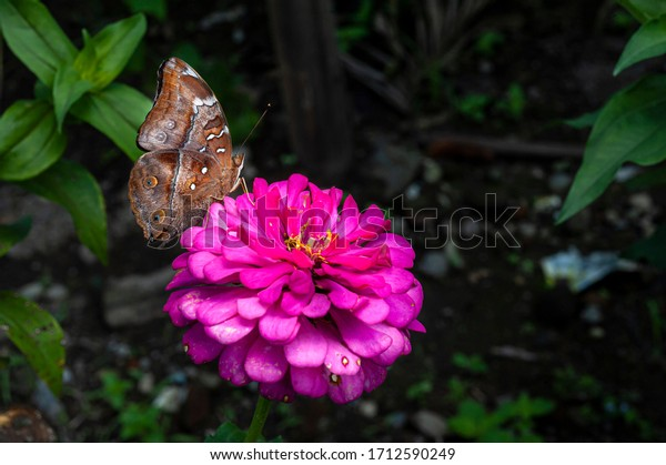 Brown butterfly on red magenta flower close up biew with blurry dark background