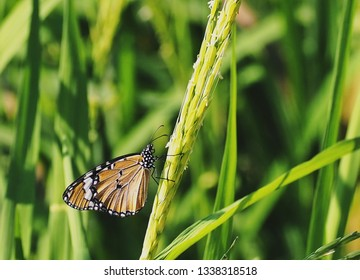 Brown butterfly on the rice plant