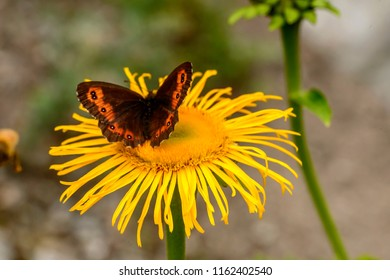a brown butterfly  on yellow daisy flower , shot on a bright summer day at Gressoney Saint Jean,  Lys valley, Aosta, Italy