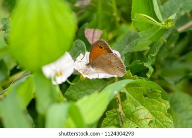 brown butterfly sitting on potato flowers