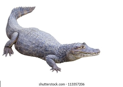 Brown Caiman with clipping path.