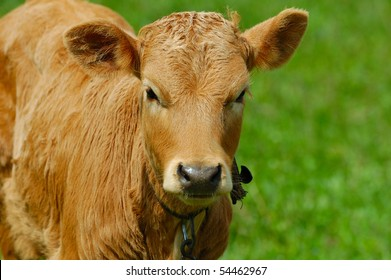 Brown calf