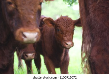 brown calf veal animal farm beef livestock young baby cow
