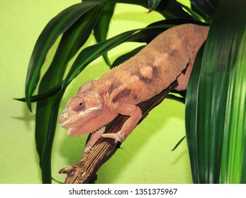 brown  cameleon on the tree