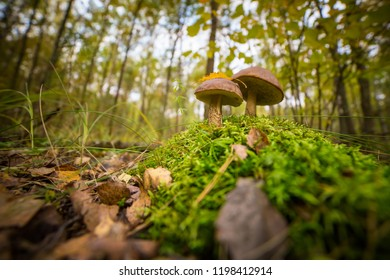 The brown cap Boletus in Forest