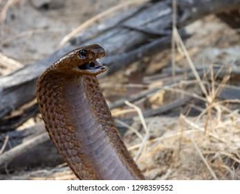 Brown Cape Cobra (Naja nivea)