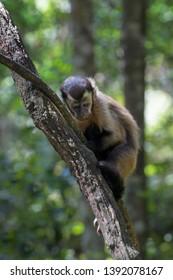 Brown Capuchin (Cebus apella) adult, walking along branch, Rehabilitationcenter Monkeyworld, South Africa